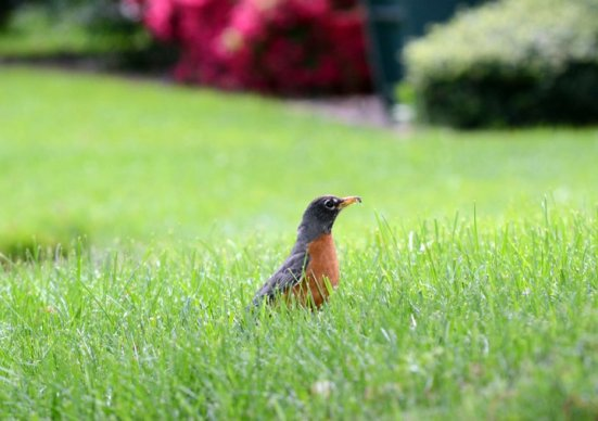April - robin in spring with a worm