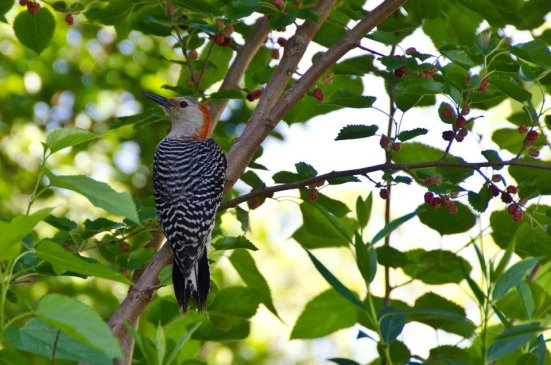 May - Red-bellied Woodpecker in mulberry tree