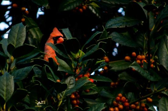 Cardinal in a holly tree