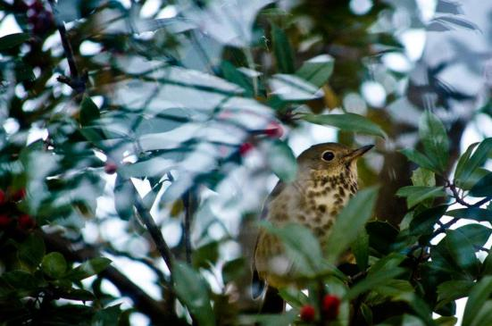 Ovenbird in a holly