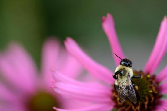 A backscratching bee on a late Tennessee coneflower