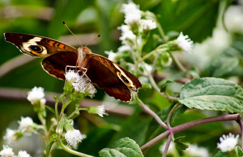 A common buckeye butterfly on white snakeroot (October)