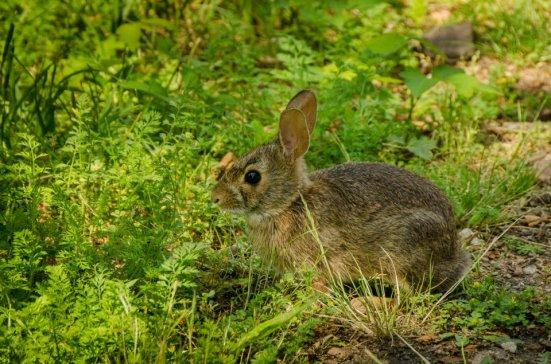 Eastern cottontail in my garden