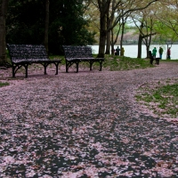 Farewell, Cherry Blossoms