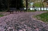 Farewell, Cherry Blossoms
