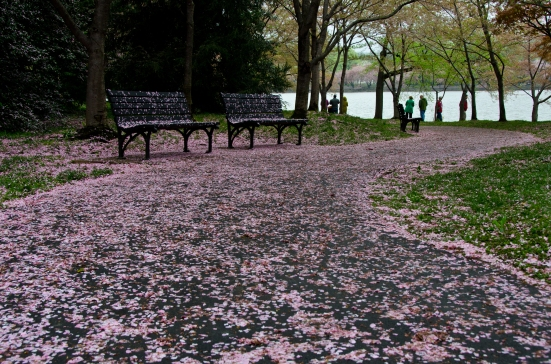 Tidal Basin alley with fallen cherry blossoms, Washington, DC
