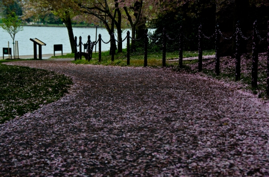 Tidal Basin's alley in cherry blossoms, Washington, DC