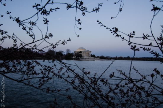 Jefferson Memorial before sunrise and cherry blossoms