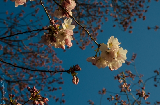 Cherry blossoms, Tidal Basin