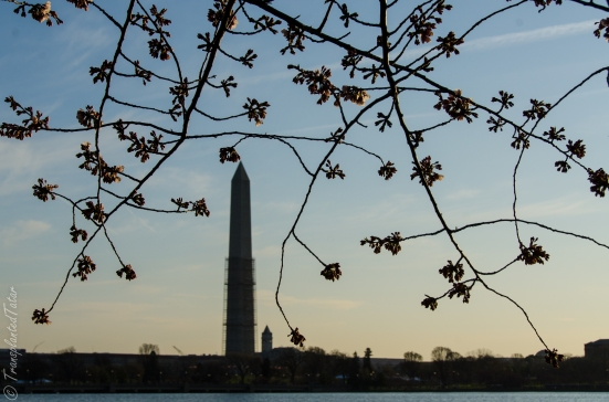 The Washington Memorial with cherry buds