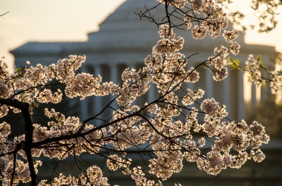 Cherry Blossoms against Jefferson Memorial