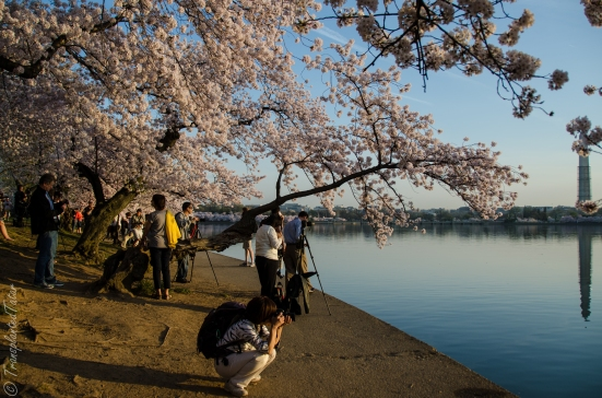 Photographing the cherry blossoms, Tidal Basin, Washington, DC