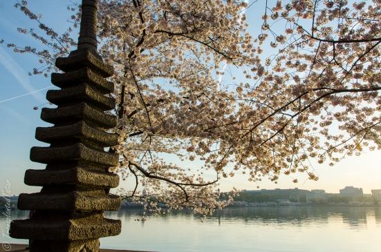Japanese Pagoda, Cherry Blossoms around Tidal Basin, Washington, DC