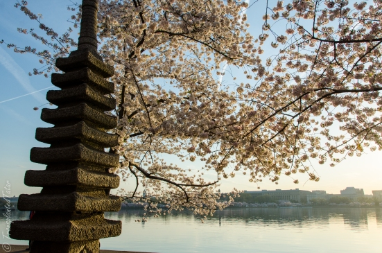 Japanese Pagoda, Cherry Blossoms around Tidal Basin, Washington, DC
