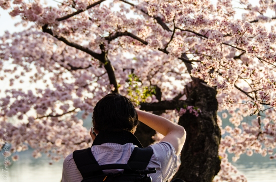 Photographing the cherry blossoms in Washington DC