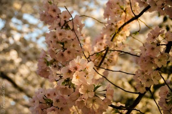 Cherry Blossoms up close, Tidal Basin, Washington, DC