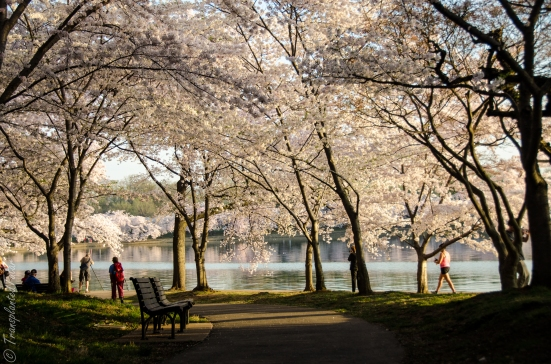 Cherry blossoms by FDR memorial
