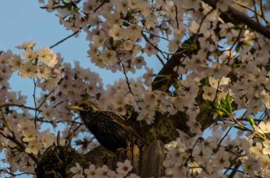 Starling in cherry tree, Tidal Basin, Washington DC