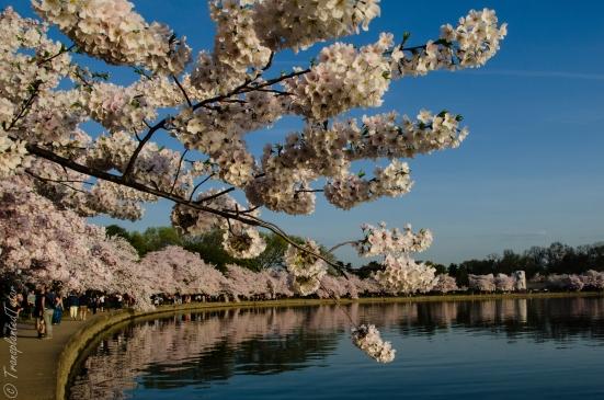 Cherry blossoms at Tidal Basin at Washington, DC