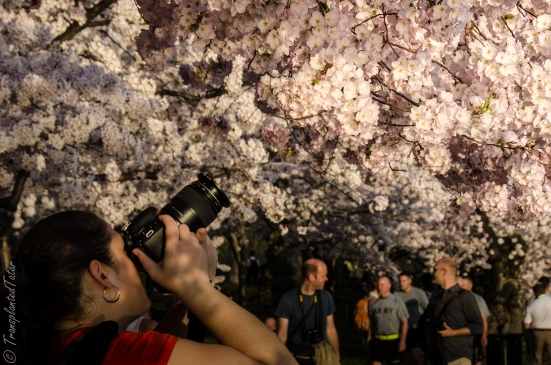 Taking pictures of cherry blossoms, Tidal Basin, DC