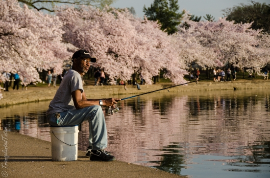 Fishing at Tidal Basin, Cherry Blossoms in DCFishing at Tidal Basin, Cherry Blossoms in DC