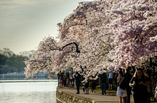 Tidal Basin at cherry blossoms, Washington DC