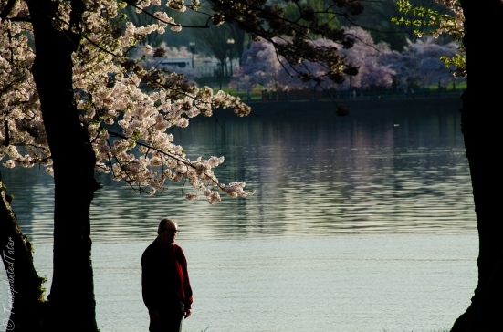 Man walking among cherry blossoms, Tidal Basin, Washington DC Man walking among cherry blossoms, Tidal Basin, Washington DC