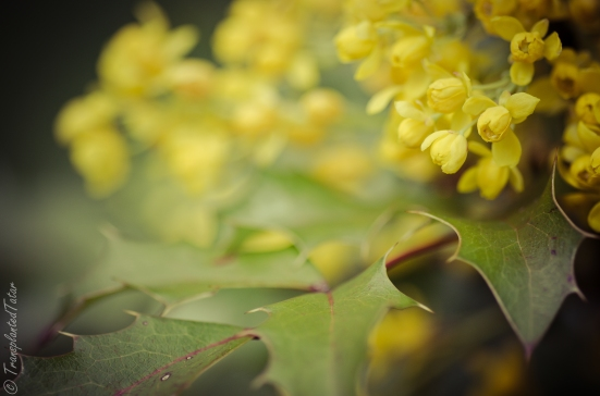 Yellow mahonia blooming in April