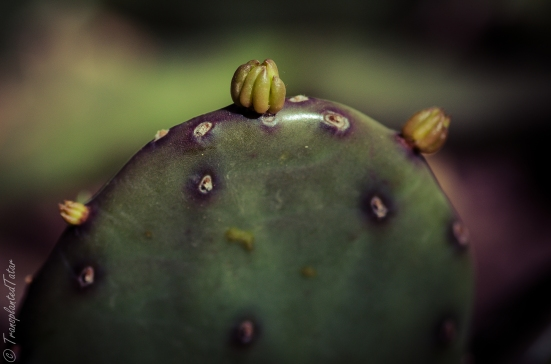 Buds on prickly pear in spring