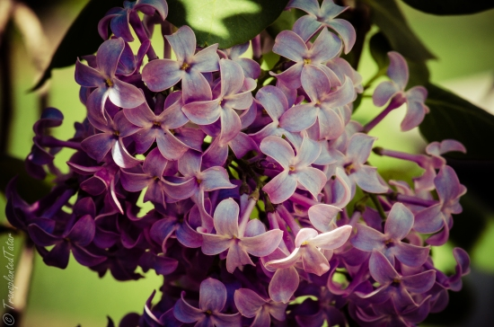 Lilac blooms in spring