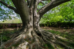 Old Beech tree, Dumbarton Oaks