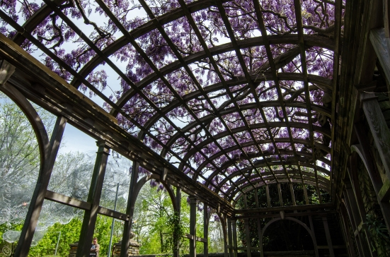 Wisteria in April, Dumbarton Oaks, Arbor Terrace