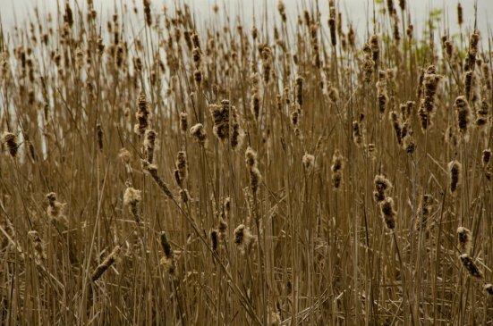 Dyke Marsh cattails