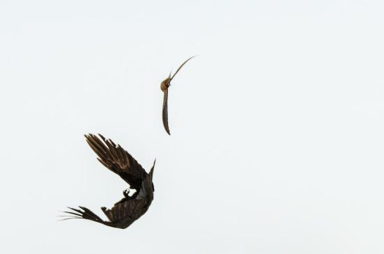 Swallow attacking crow, Dyke Marsh