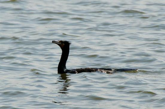 Double Crested Cormorant, Dyke Marsh