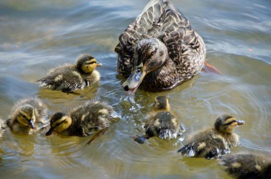 Duck family, Dyke Marsh Wildlife Preserve