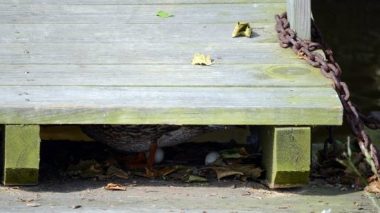 Duck nest under a pier, Dyke Marsh