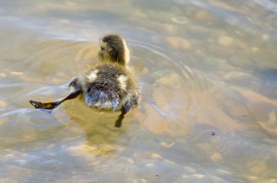 Duckling swimming, Dyke Marsh