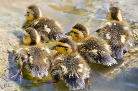 Ducklings, Dyke Marsh Wildlife Preserve