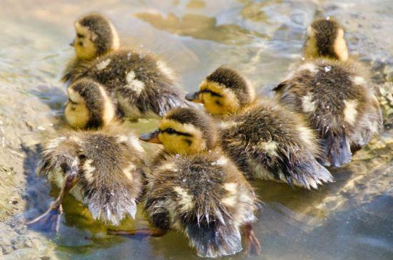 Ducklings, Dyke Marsh Wildlife Preserve