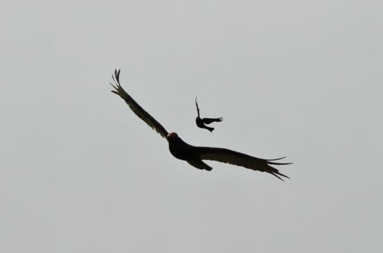 Grackle attacking a turkey vulture, Dyke Marsh Wildlife Preserve