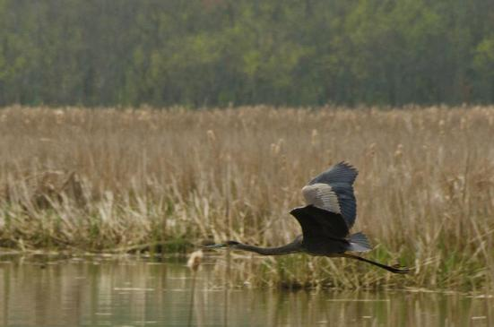 Heron flying, Dyke Marsh Wildlife Preserve