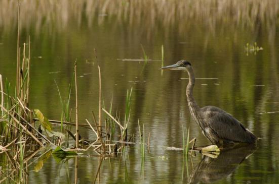 Great Blue Heron, Dyke Marsh Wildlife Preserve