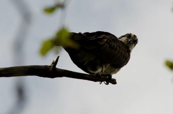 Osprey, Dyke Marsh Wildlife Preserve