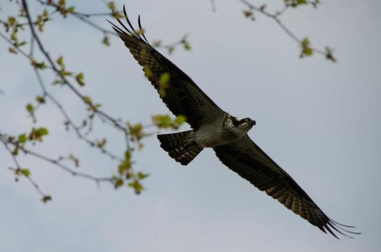 Osprey out for food, Dyke Marsh Wildlife Preserve