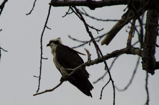 Osprey perched, Dyke Marsh Wildlife Preserve