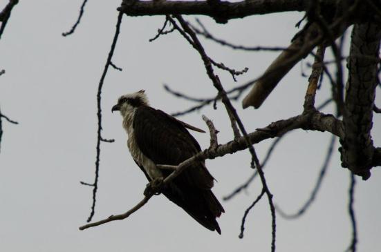Osprey perched, Dyke Marsh Wildlife Preserve
