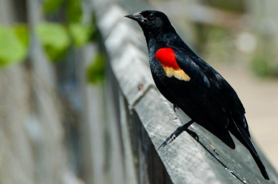 Red-winged blackbird, Dyke Marsh Wildlife Preserve