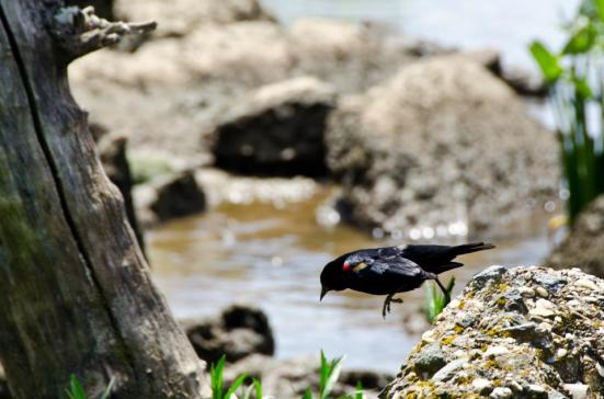 Red-winged blackbird, Dyke Marsh Wildlife Preserve