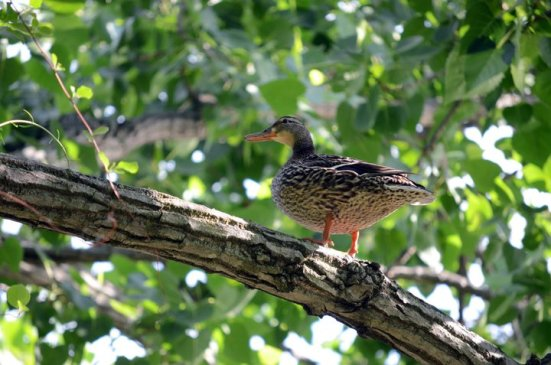 Duck in a tree, Dyke Marsh